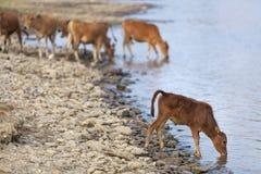 Little calf drinking water Stock Photo