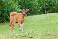 Little calf grazing on the green grass Stock Images