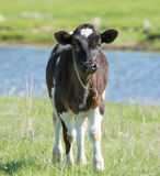 Little Calf grazing on a meadow Royalty Free Stock Photos