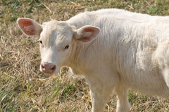 A little calf looking curious Royalty Free Stock Photos