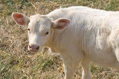 A little calf looking curious. A little white calf looking curious Royalty Free Stock Photos