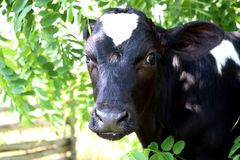 Close up of face of holstein calf with green leaves around him royalty free stock photo