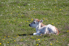 Little calf lying on pasture Stock Photos