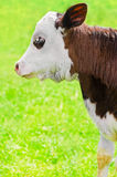Little calf on meadow Stock Photo