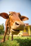 Little calf mug eating grass closeup Royalty Free Stock Photography