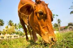 Little calf mug eating grass closeup Royalty Free Stock Photo