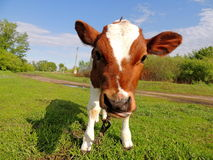 Little calf Stock Images