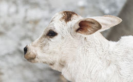 Little Calf Royalty Free Stock Photos