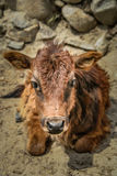 Little calf Stock Photography