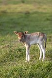Little calf Royalty Free Stock Photos