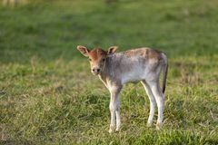 Little calf. Standing alone in green field royalty free stock image