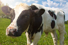 Little calf standing alone in green pasture Royalty Free Stock Image