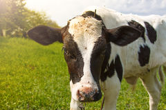 Little calf standing alone in green pasture Royalty Free Stock Photos
