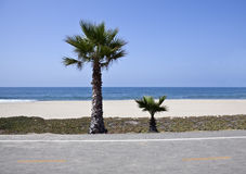 Little California Palms Royalty Free Stock Photos