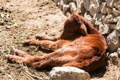 Little calve Stock Images