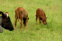 Little calves. Two calves playing on the meadow Royalty Free Stock Photos