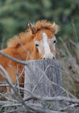 A little camargue foal playing. A portrait of a little red camargue foal Stock Images