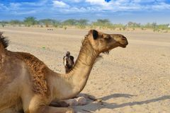 Little camel crying freedom with his mother Stock Photos