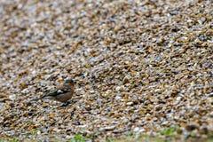 Little camouflaged bird Stock Image