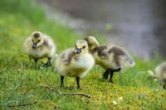 Free Little Canada Goose Chicks Hunting For Food. Stock Photography - 147653042