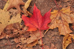 A Little Canadian. Only a couple nice leaves left Royalty Free Stock Photo