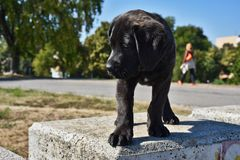 Cane Corso dog stock photos