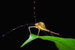Little capricorn beetle closeup. Little capricorn beetle standing on green leaf Royalty Free Stock Photo