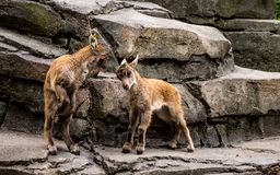 Little capricorn fithing eachother baby capricorn in amsterdam zoo stock images