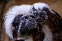 Little capuchin monkey Stock Photos