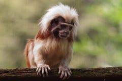 Little capuchin monkey. Nice curious little capuchin monkey Stock Photos