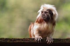 Little capuchin monkey Royalty Free Stock Photo