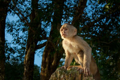 Little capuchin Monkey in the wild starring at the Stock Image