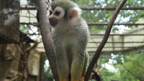 Little capuchin monkey in the zoo. For backgrounds Stock Images