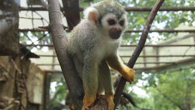 Little capuchin monkey in the zoo. For backgrounds Stock Photo