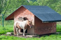 Little caramel pony hiding under animal`s hut stock photography