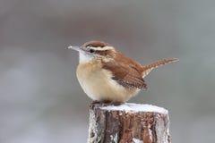Little Carolina Wren in Winter Stock Photography