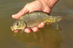 Little carp Royalty Free Stock Photography