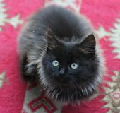 Little Cat 1. A little black cat with red background stock photo