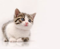 Little cat. Studio shoot of young cat looking at something that could be designer choice Royalty Free Stock Photos