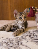 Little cat. Sitting on the sofa near a pillow Royalty Free Stock Image