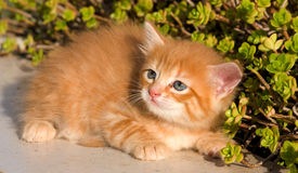 Little cat Royalty Free Stock Images