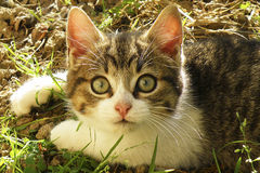 Little cat with big green eyes. Little cat looking with big green eyes Stock Images
