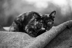 A Little Cat. Black and White Royalty Free Stock Photo