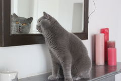 Little cat blu coat is looking in the mirror Stock Images