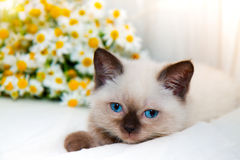 Little cat and chamomiles Royalty Free Stock Images