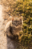 Little cat with green eyes. Little small gray fluffy cat sitting on the ground and looking at the camera. Back light at morning, close-up, background is blurred Royalty Free Stock Images