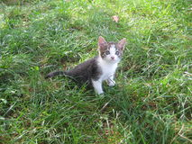 Little cat on the green grass. Little nice gray and milky white cat on the green grass: first cats summer Royalty Free Stock Photos