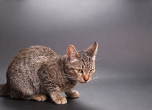 Little cat  on grey background in a studio shot Stock Images
