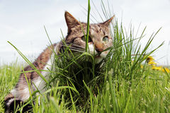 A little cat on the hunt hiding Stock Image