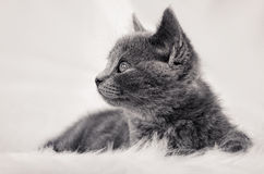 Little Cat. Lieing on the white fur royalty free stock image